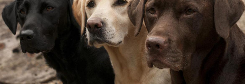 Labrador-Retriever-Dog-Black-Chocolate-A-Best