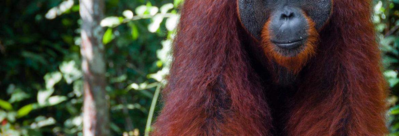 Ape-Monkey-Animal